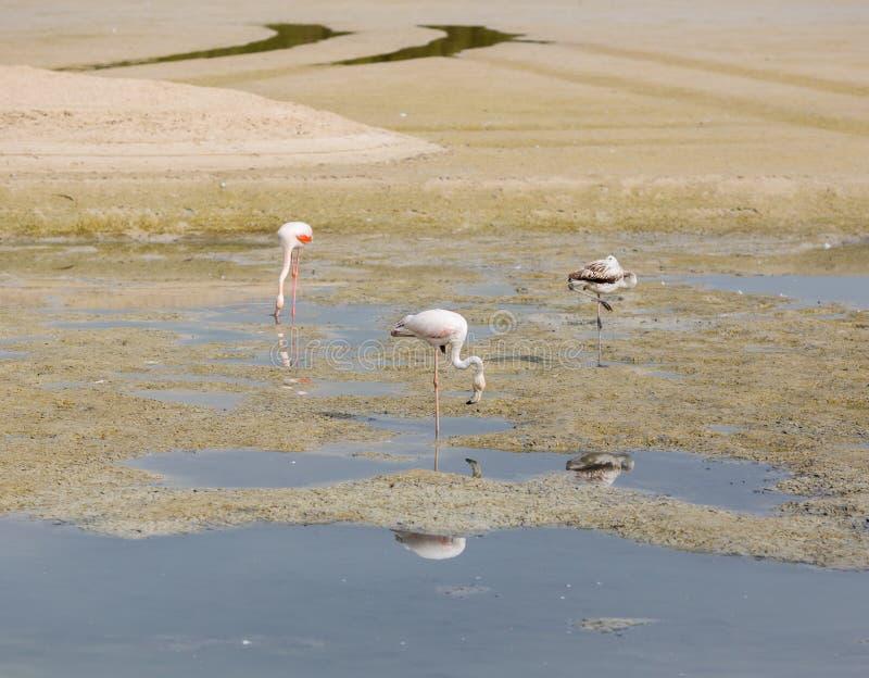 Różowi flamingi zdjęcie stock