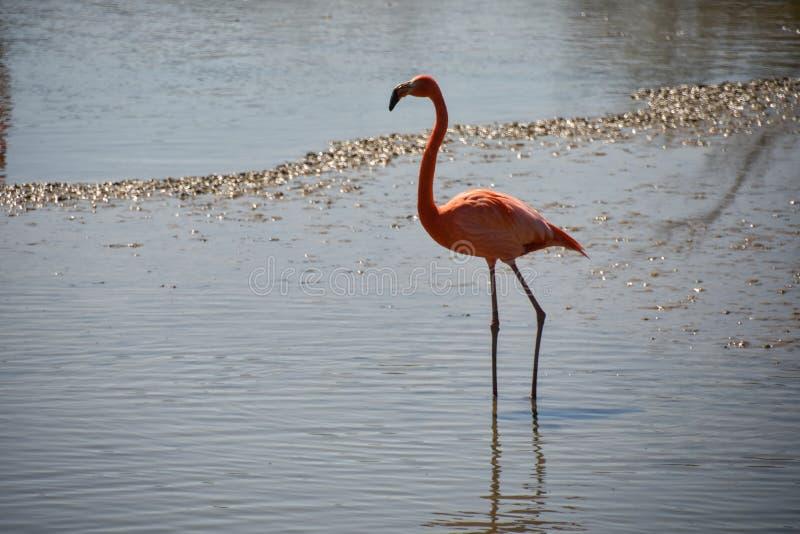 Różowi flamingi obrazy royalty free