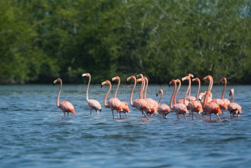 Różowi flamingi przy bigi niecką fotografia royalty free