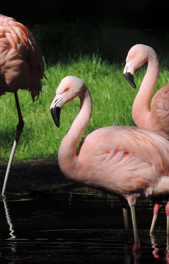 Różowi flamingi w słońcu obrazy stock
