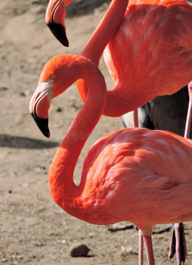 Różowi flamingi w słońcu zdjęcie stock