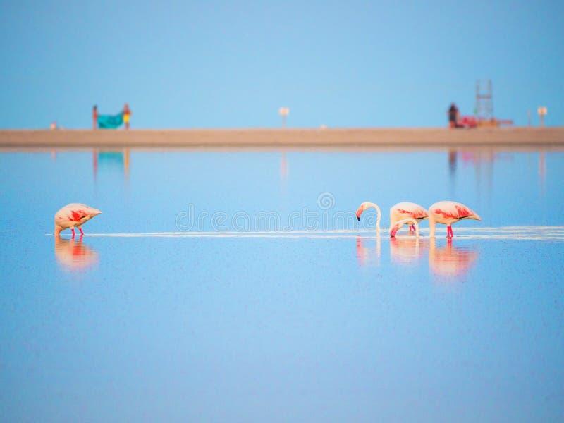 Różowi flamingi w stawie Notteri, Sardinia, Włochy obrazy royalty free