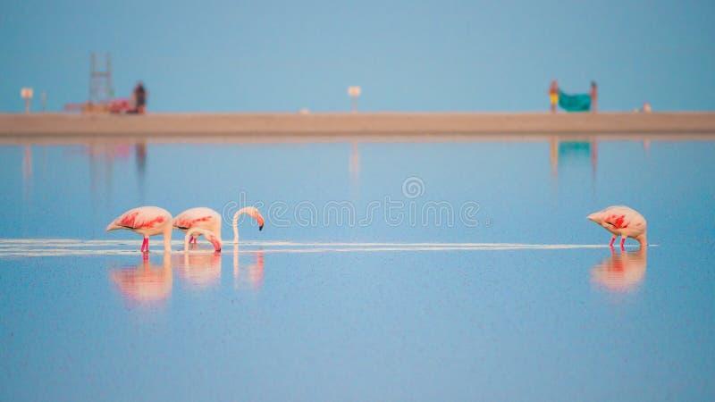 Różowi flamingi w stawie Notteri, Sardinia, Włochy fotografia stock