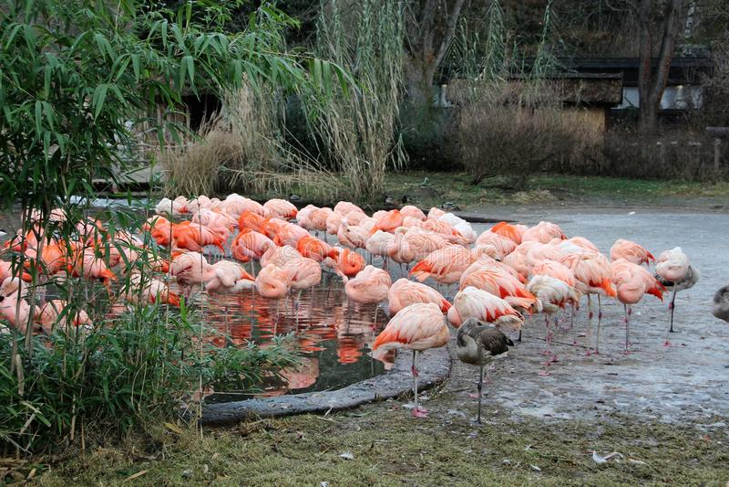 Różowi flamingi w zimie przy Praga zoo fotografia royalty free