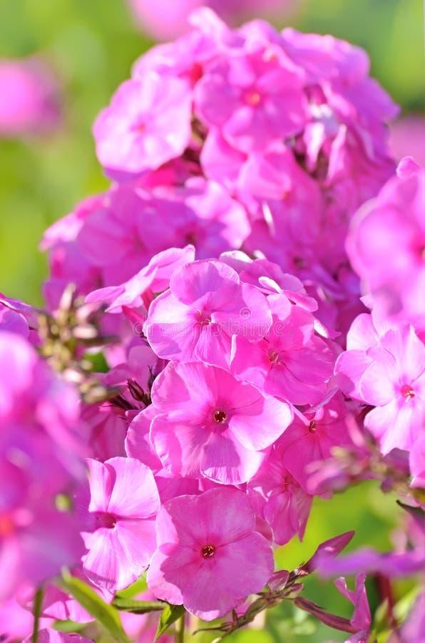 Różowi floksów kwiaty zdjęcie stock