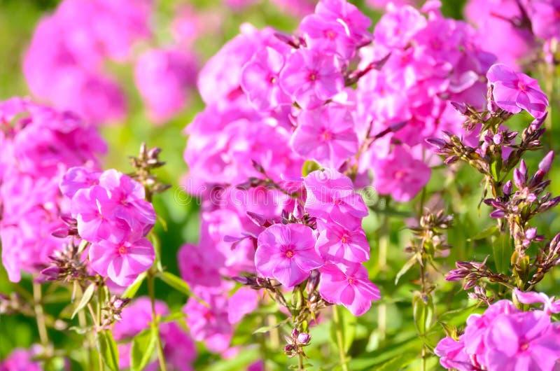 Różowi floksów kwiaty obrazy royalty free