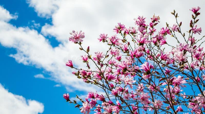 Różowi forsythias pod niebieskim niebem z bufiastymi chmurami fotografia stock