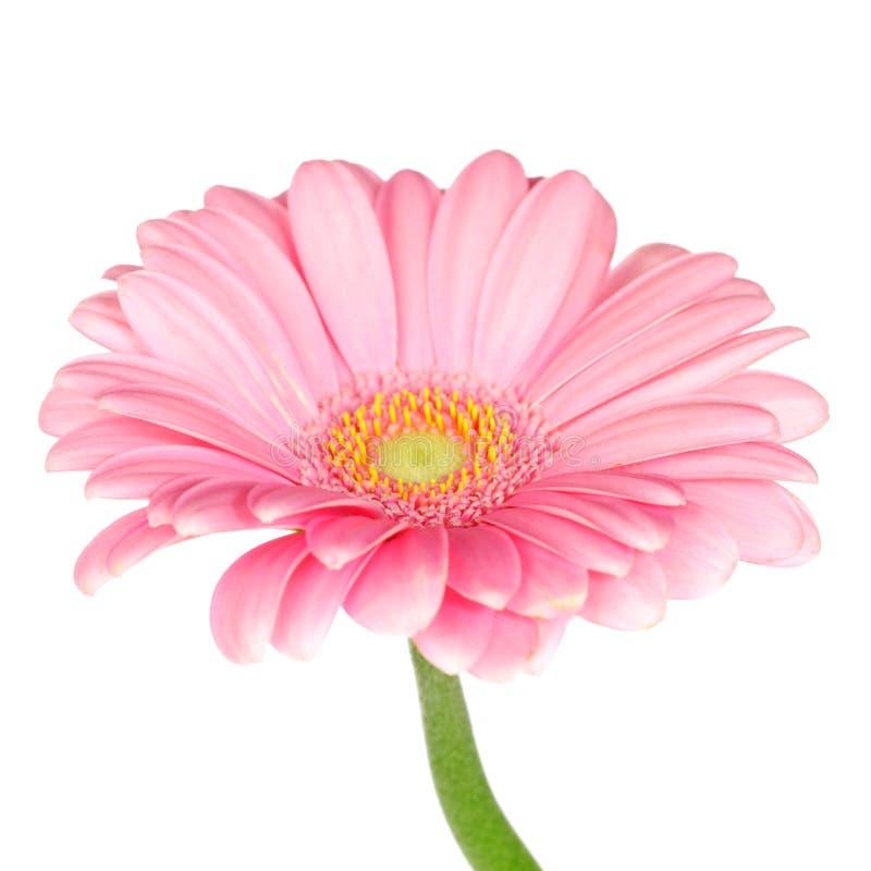 Różowi gerbera stokrotki zdjęcia stock
