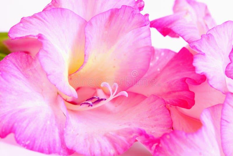 Różowi gladiolusów kwiaty. zdjęcia royalty free