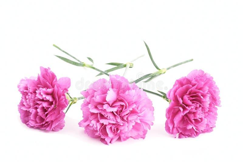 Różowi goździki zdjęcie stock