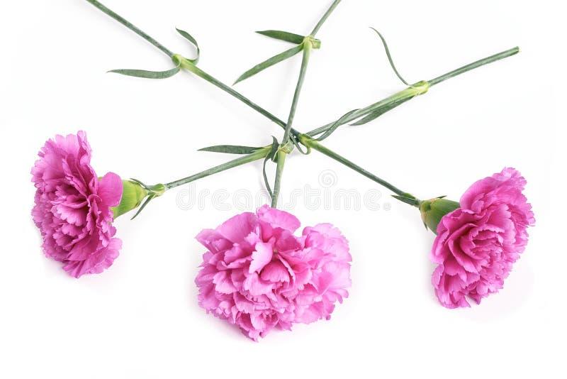Różowi goździki obraz royalty free