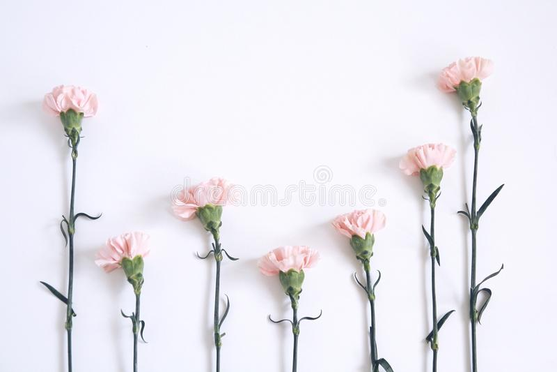 Różowi goździki zdjęcie royalty free