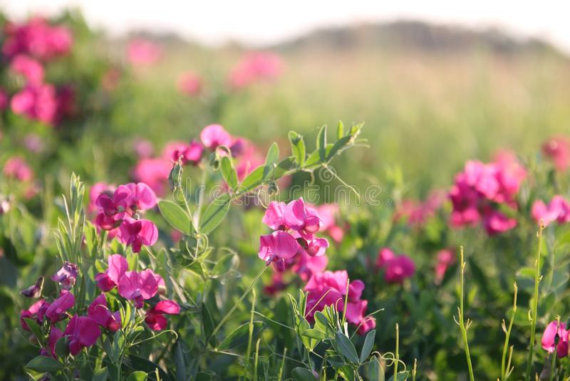Różowi grochy w łące, lato obraz royalty free