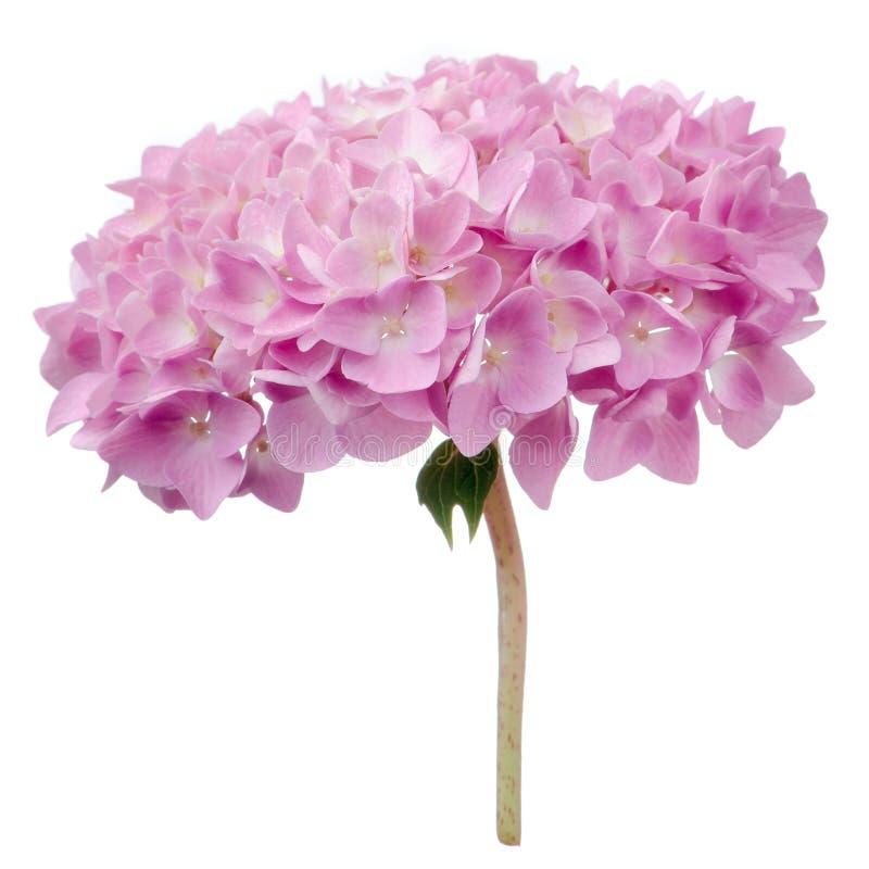 Różowi hortensja kwiaty Odizolowywający na Białym tle fotografia stock
