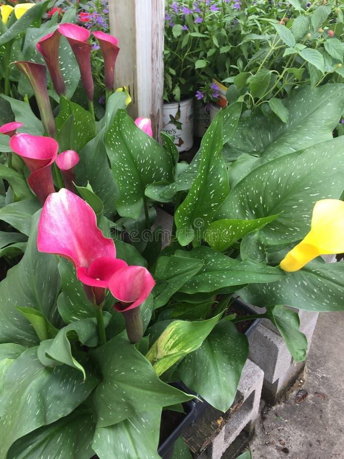 Różowi i żółci kalii lillies fotografia royalty free