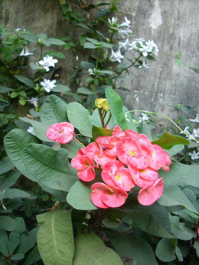 Różowi i biali kwiaty na ogródzie zdjęcie royalty free