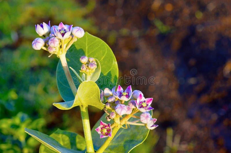 Różowi i biali kwiaty na Soda jabłczanej roślinie, Calotropis procera blisko Pune, maharashtra fotografia royalty free