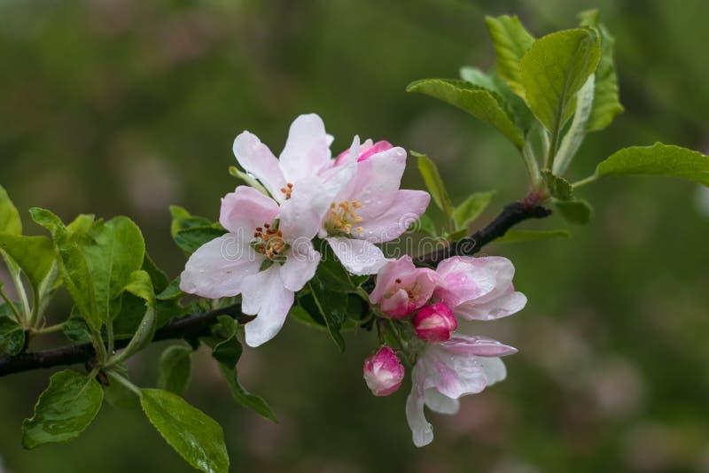 Różowi i biali kwiaty owocowy drzewo na gałąź Kwiatonośna jabłoń na zielonym tle t?a ptaszyn bloosom pary fantastyczny kwiecisty  obraz royalty free