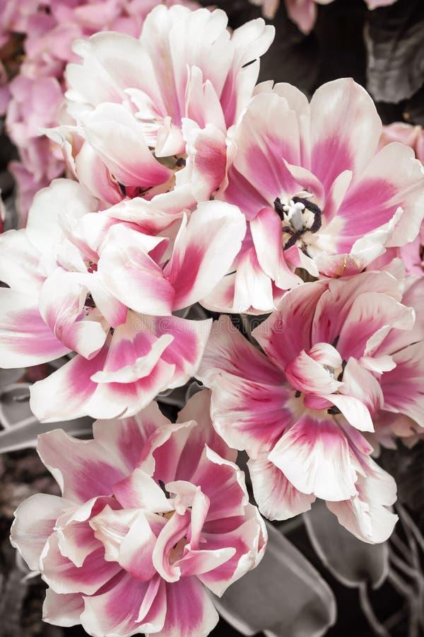 Różowi i biali tulipany obrazy royalty free