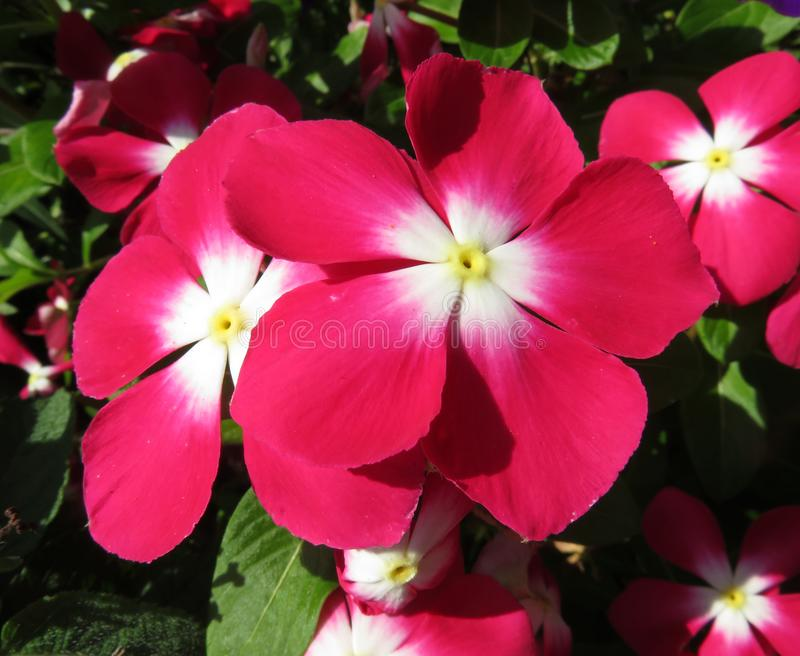 Różowi Impatiens kwiaty w lato ogródzie w Sierpień zdjęcie royalty free