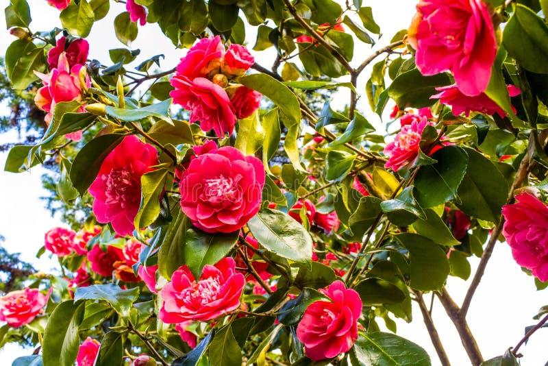 Różowi Kameliowi kwiaty kwitną w ogródzie w wiośnie fotografia royalty free