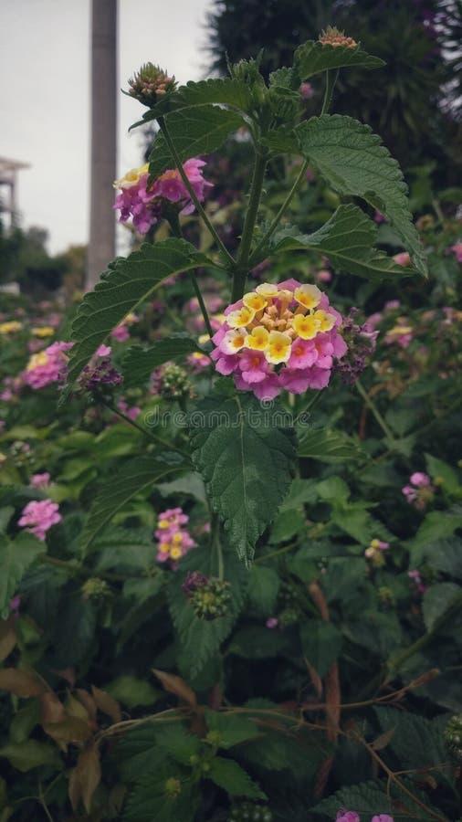 Różowi kolorów żółtych kwiaty obrazy royalty free