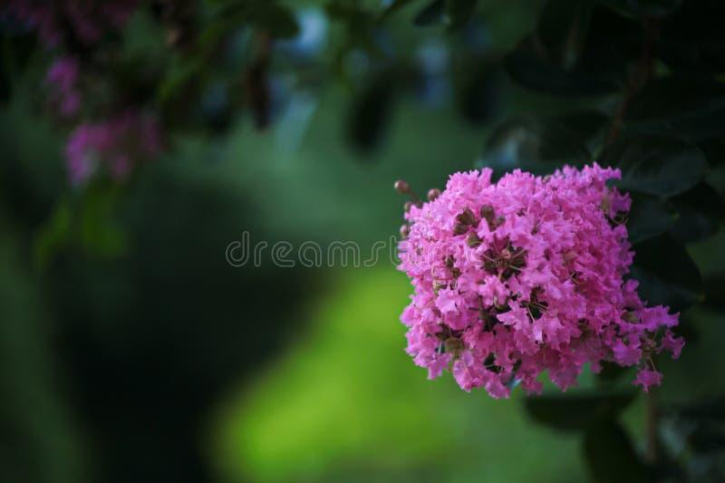 Różowi kwiatów okwitnięcia Mrytle drzewo obrazy royalty free