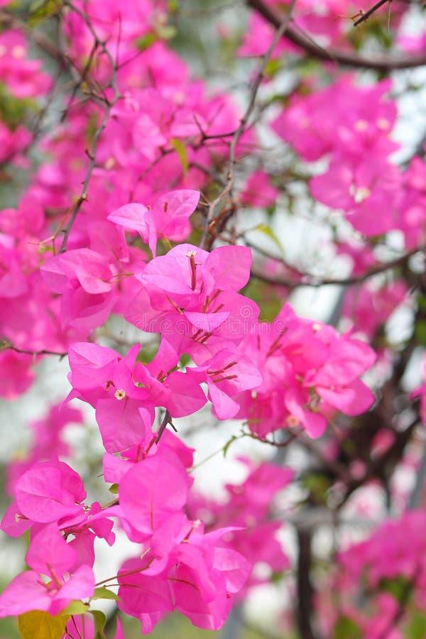 Różowi kwitnący bougainvillea kwiaty obrazy royalty free