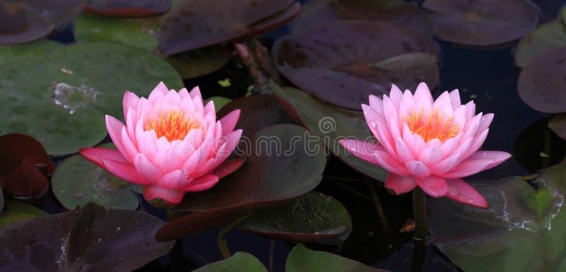 Różowi lotosowi okwitnięcia lub grążeli kwiaty zdjęcie royalty free