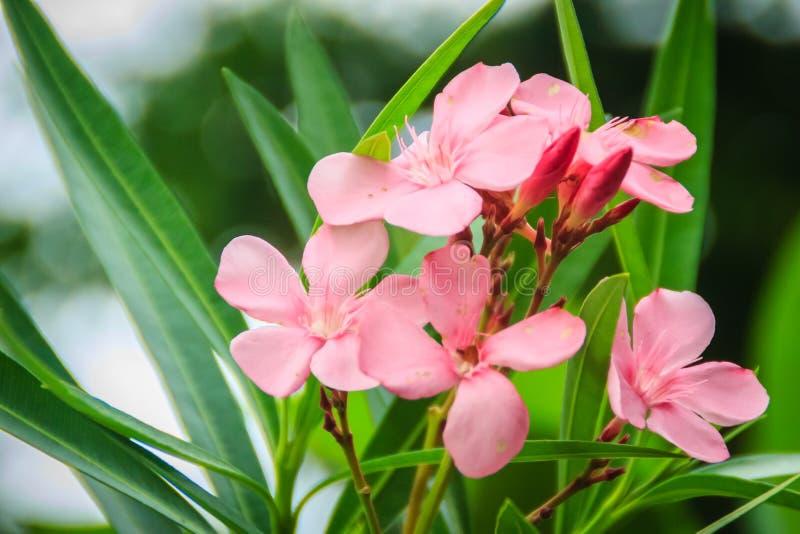 Różowi Nerium oleanderu kwiaty z zielenią opuszczają tło Nerium oleander jest małym drzewem w dogbane rodzinie Apocynac lub krzak zdjęcia stock