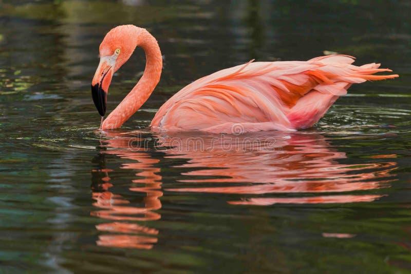 Różowi odbicia flaming obrazy royalty free