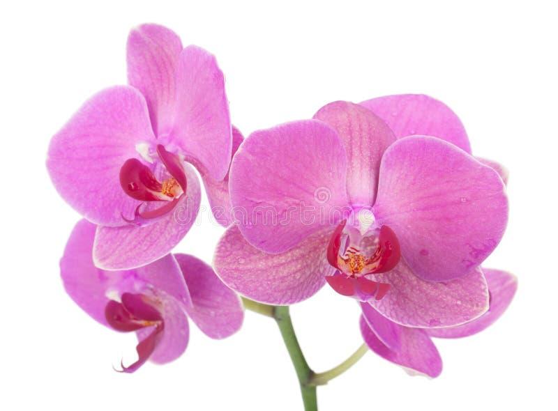 Różowi orchidea kwiaty zdjęcia stock