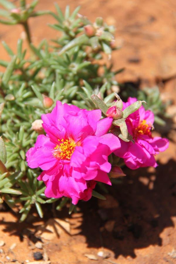 Różowi Portulaca grandiflora kwiaty fotografia royalty free