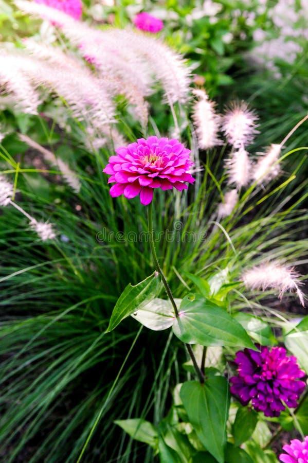 Różowi & Purpurowi cynia kwiaty zdjęcia royalty free