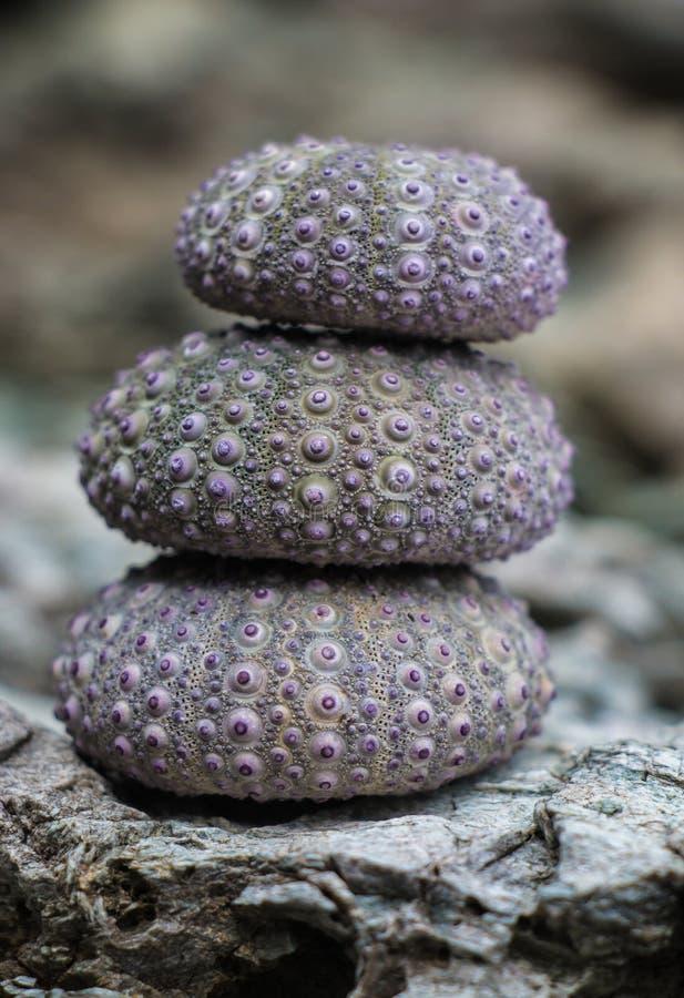 Różowi purpurowi denni czesacy brogujący na skałach obraz royalty free