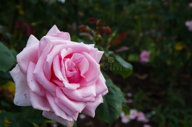 Różowi różanego obraz stock