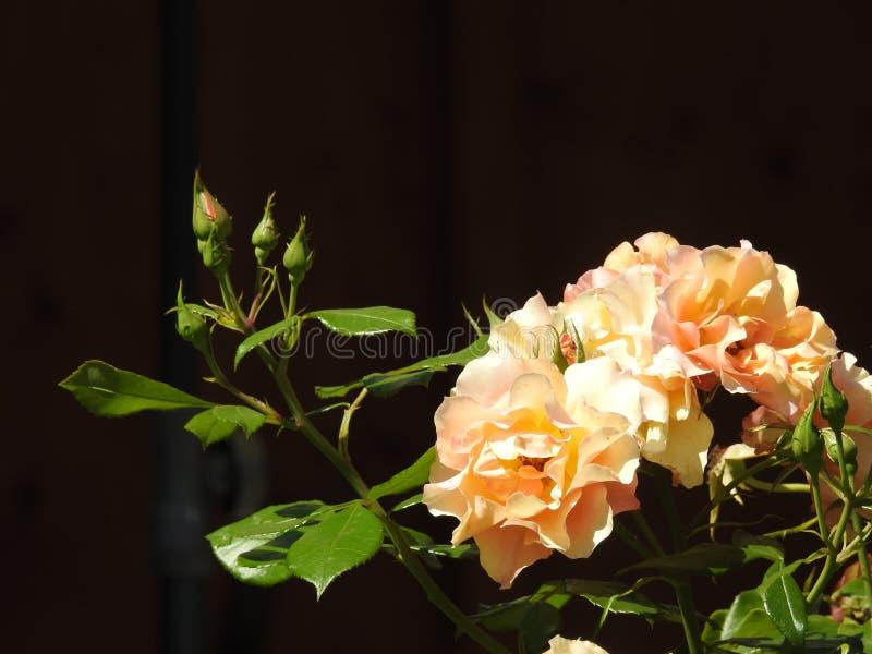 Różowi różanego guzika obrazy stock