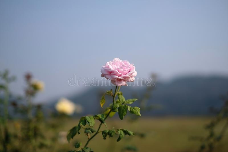 różowi różanego i widok górskiego obrazy royalty free