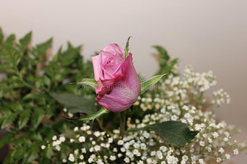 Różowi rosse i zieleni liście fotografia stock