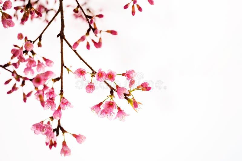 Różowi Sakura kwiaty odizolowywający na bielu zdjęcie royalty free