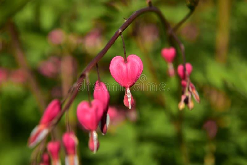 Różowi serce kwiaty zdjęcia royalty free