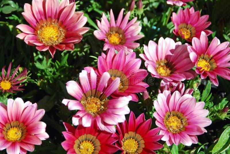 Różowi skarbów kwiaty fotografia royalty free