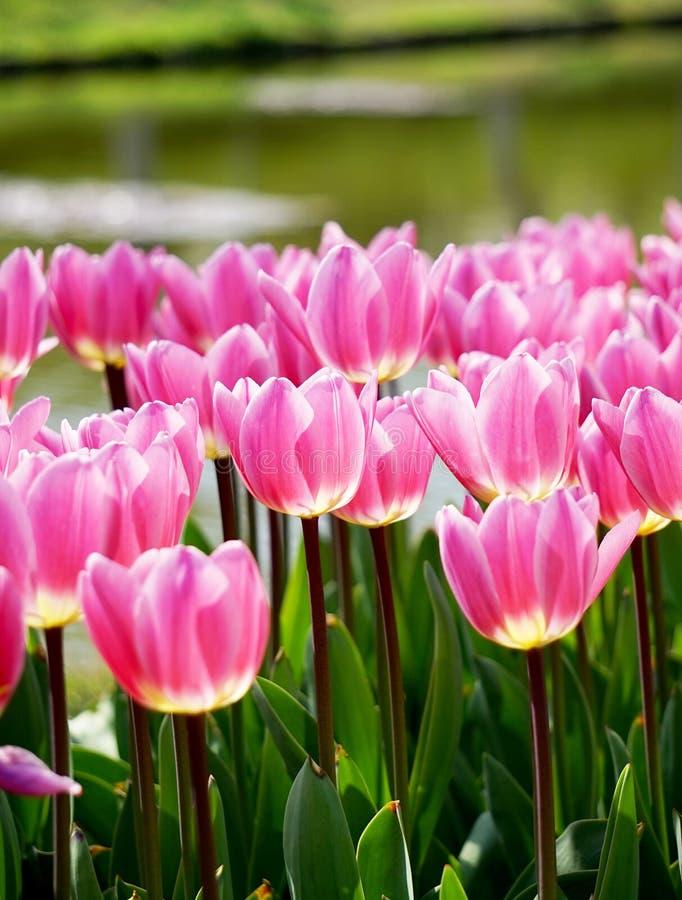 Różowi tulipany zdjęcia stock