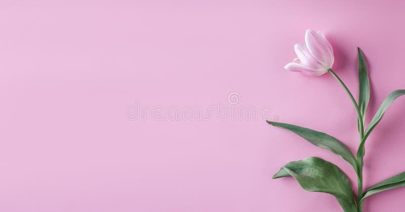 Różowi tulipany kwitną na różowym tle Czekać wiosnę Wielkanoc karty szczęśliwy Mieszkanie nieatutowy, odgórny widok fotografia stock