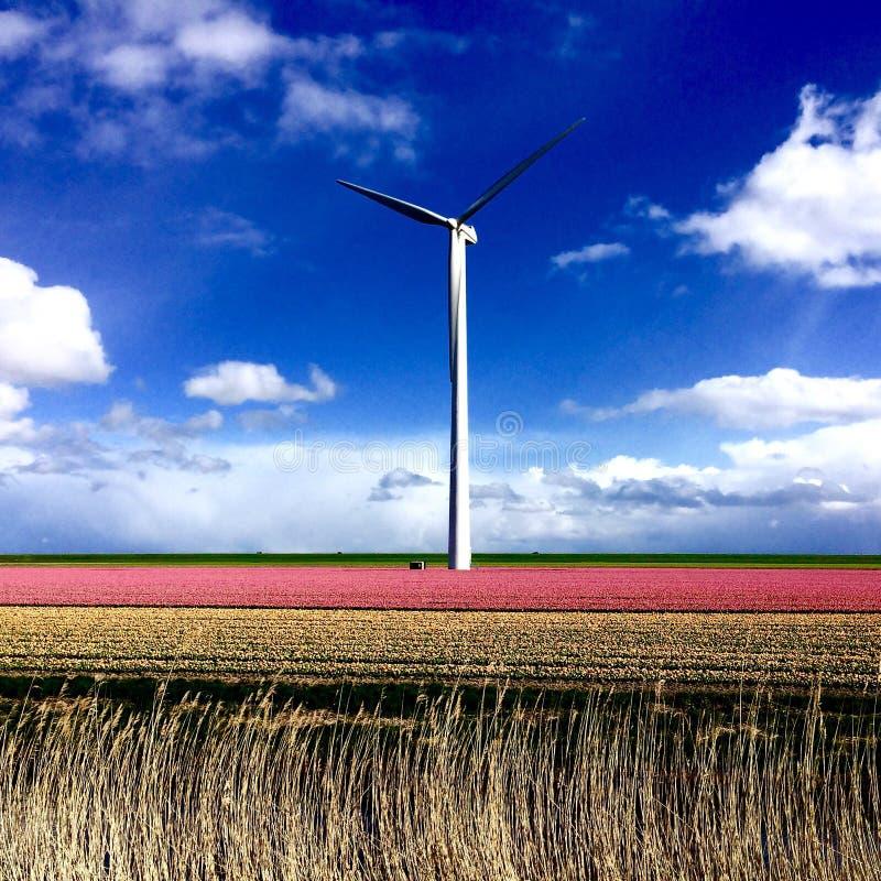 Różowi tulipany w śródpolnym Zeewolde z wiatraczkiem zdjęcia stock