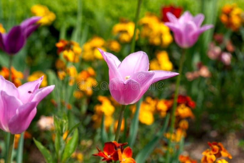 Różowi tulipany w francuza ogródzie obraz royalty free