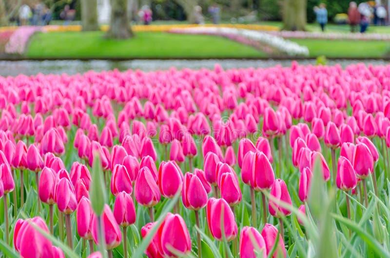 Różowi tulipany w kwiacie w Keukenhof wiośnie uprawiają ogródek od holandii zdjęcia royalty free