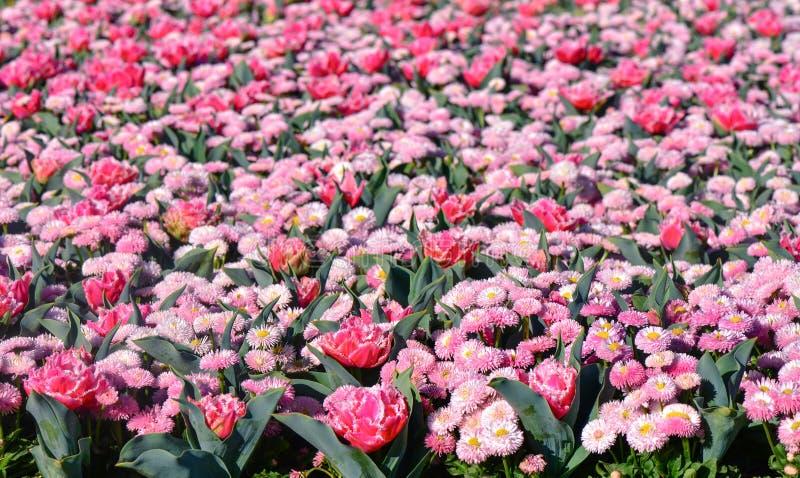 Różowi tulipany w ogródzie fotografia royalty free