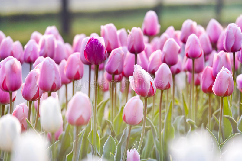 Różowi tulipany w ranku świetle, wiosna ogrodowy Stromovka w Praga fotografia stock