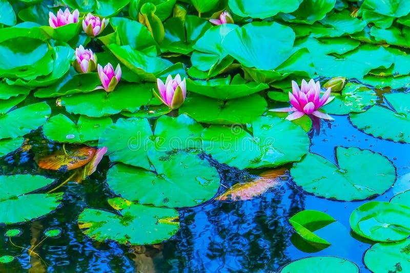 Różowi Wodnej lelui Van Dusen Uprawiający ogródek Vancouver kolumbia brytyjska Kanada zdjęcie stock